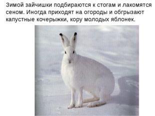 Зимой зайчишки подбираются к стогам и лакомятся сеном. Иногда приходят на ого