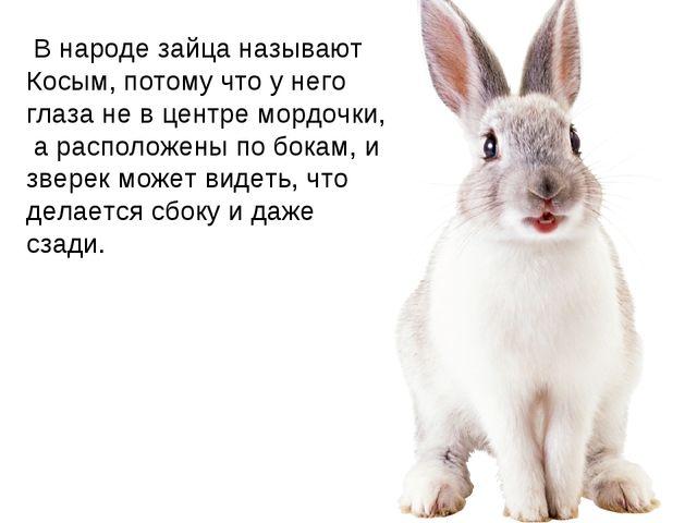 В народе зайца называют Косым, потому что у него глаза не в центре мордочки,...