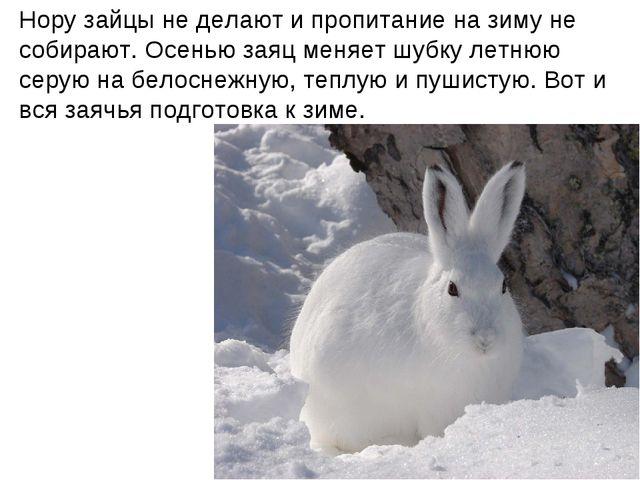 Нору зайцы не делают и пропитание на зиму не собирают. Осенью заяц меняет шуб...