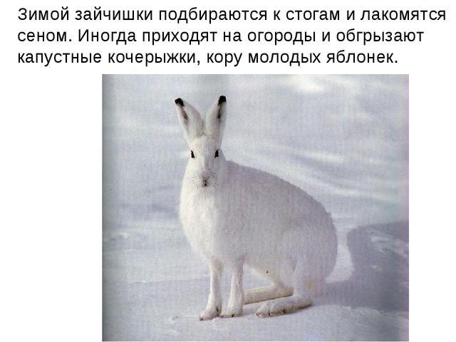 Зимой зайчишки подбираются к стогам и лакомятся сеном. Иногда приходят на ого...