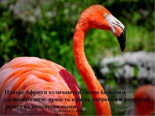 Птицы Африки отличаются своим большим разнообразием: яркость красок оперения