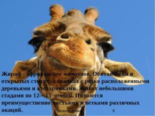 Жираф - африканское животное. Обитают они в открытых степях - саваннах с ред