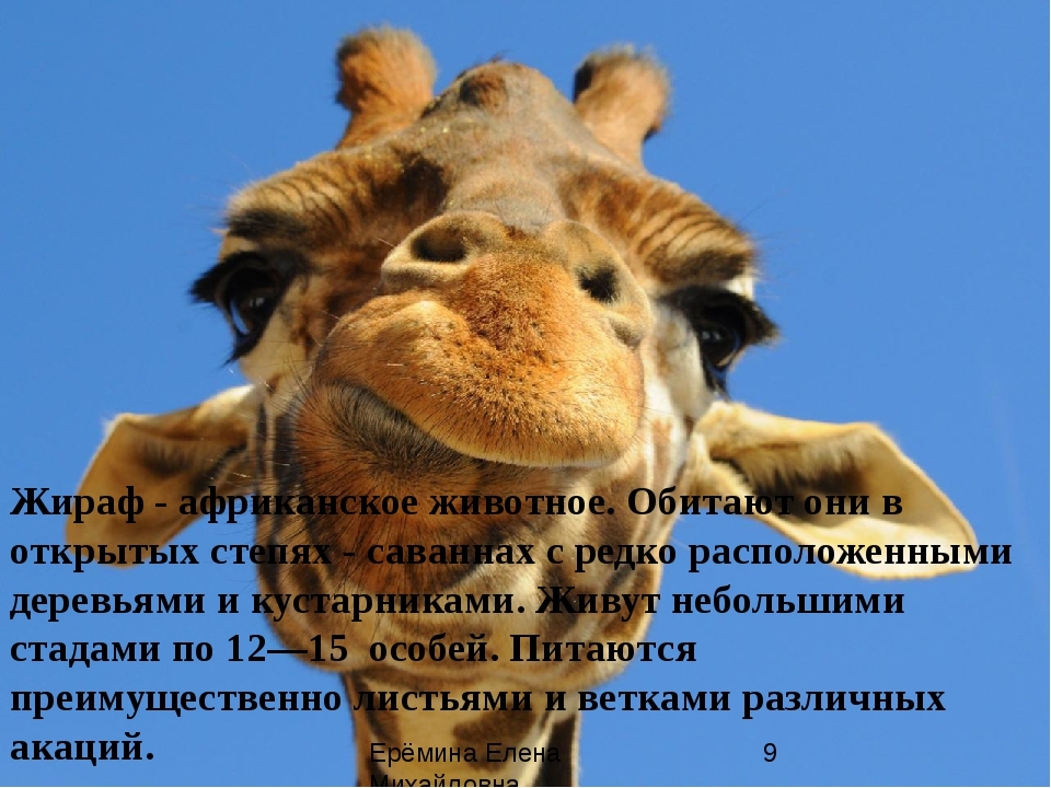 Жираф - африканское животное. Обитают они в открытых степях - саваннах с ред...