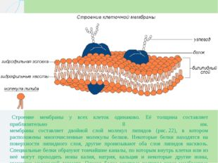 Строение мембраны у всех клеток одинаково. Её толщина составляет приблизител