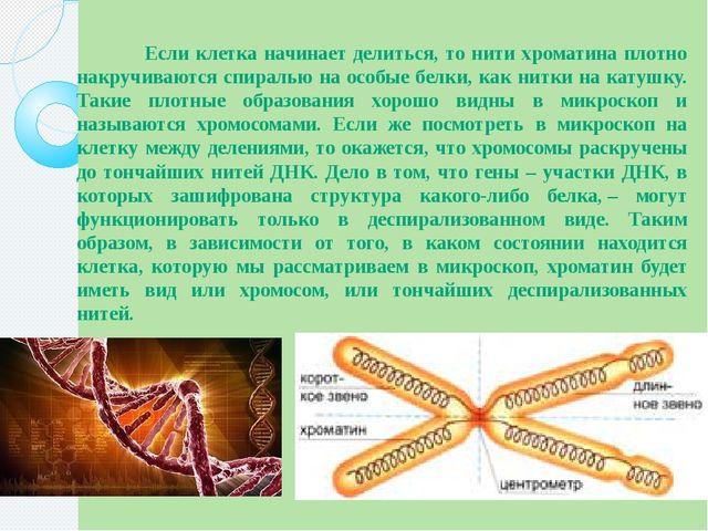 Если клетка начинает делиться, то нити хроматина плотно накручиваются спирал...