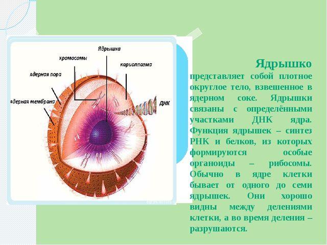 Ядрышко представляет собой плотное округлое тело, взвешенное в ядерном соке....