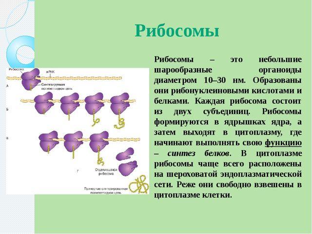 Рибосомы Рибосомы – это небольшие шарообразные органоиды диаметром 10–30 нм....