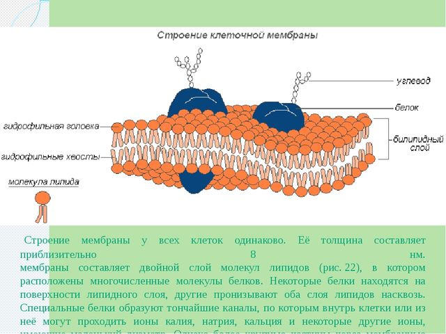 Строение мембраны у всех клеток одинаково. Её толщина составляет приблизител...