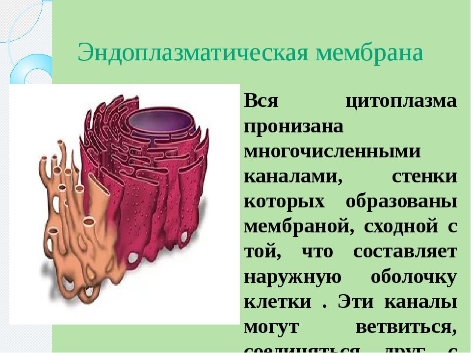 Эндоплазматическая мембрана Вся цитоплазма пронизана многочисленными каналами...