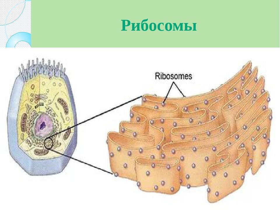 Рибосомы