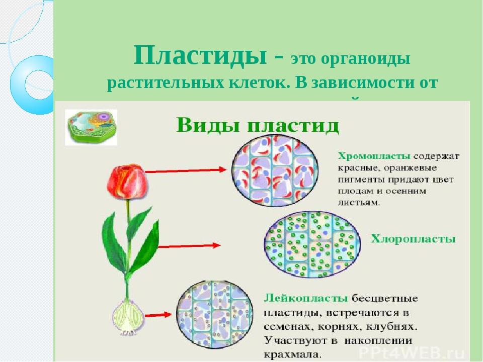Пластиды - это органоиды растительных клеток. В зависимости от окраски пласти...