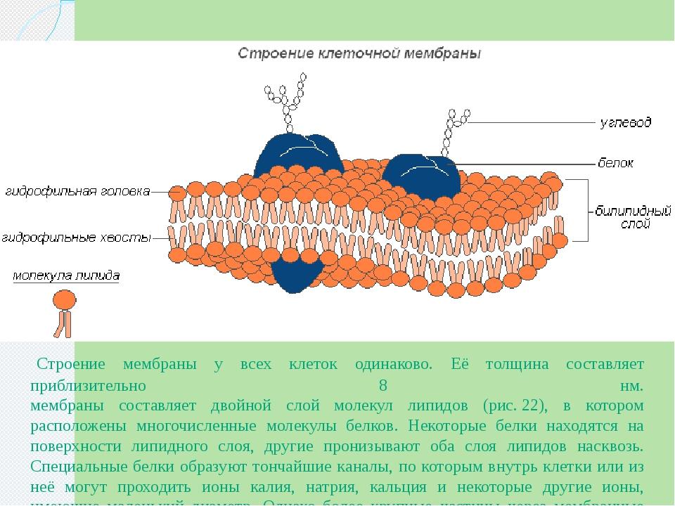 Строение мембраны клетки рисунки