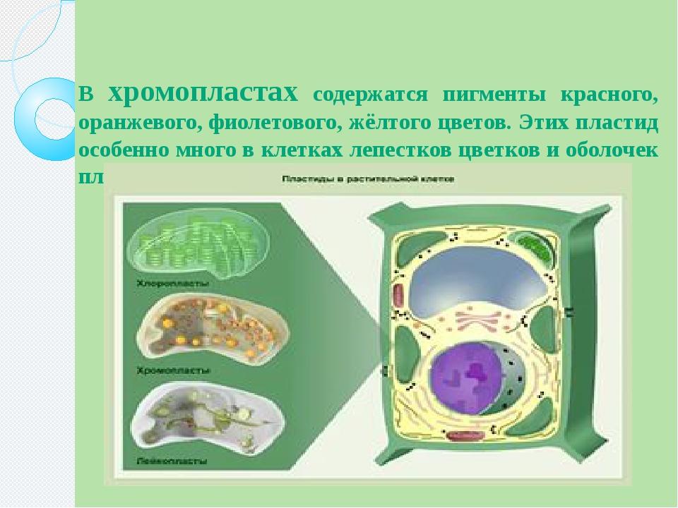 В хромопластах содержатся пигменты красного, оранжевого, фиолетового, жёлтого...