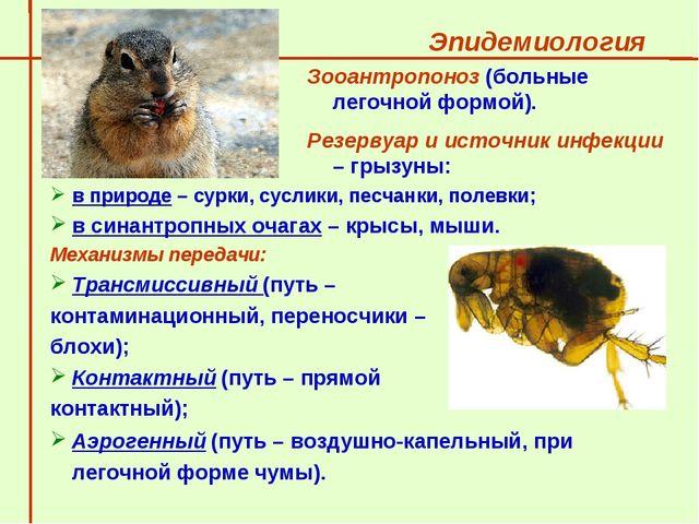 Эпидемиология  в природе – сурки, суслики, песчанки, полевки; в синантропны...