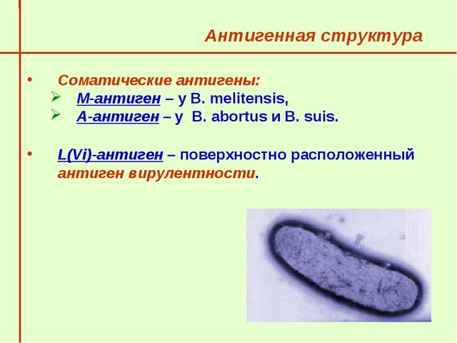 Антигенная структура  Соматические антигены: М-антиген – у В. melitensis,...