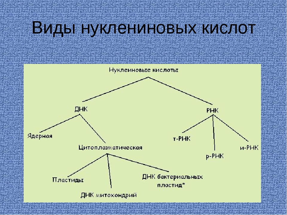 Виды нуклениновых кислот