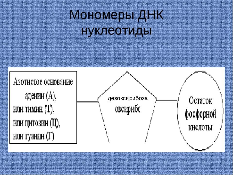 Мономеры ДНК нуклеотиды дезоксирибоза