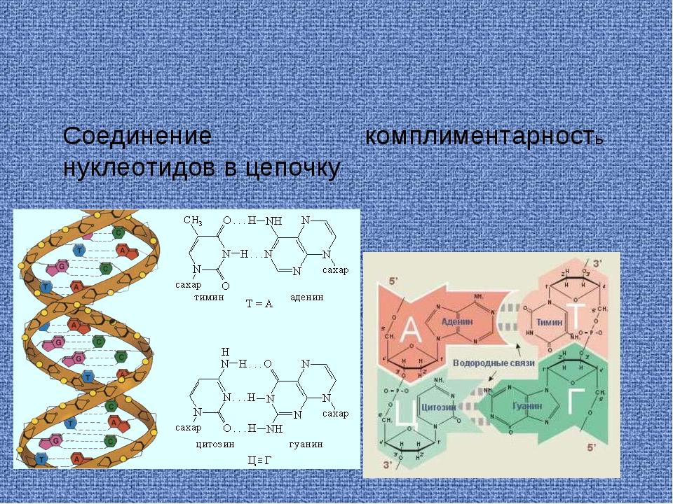 Соединение нуклеотидов в цепочку комплиментарность