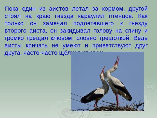 Пока один из аистов летал за кормом, другой стоял на краю гнезда караулил пте...