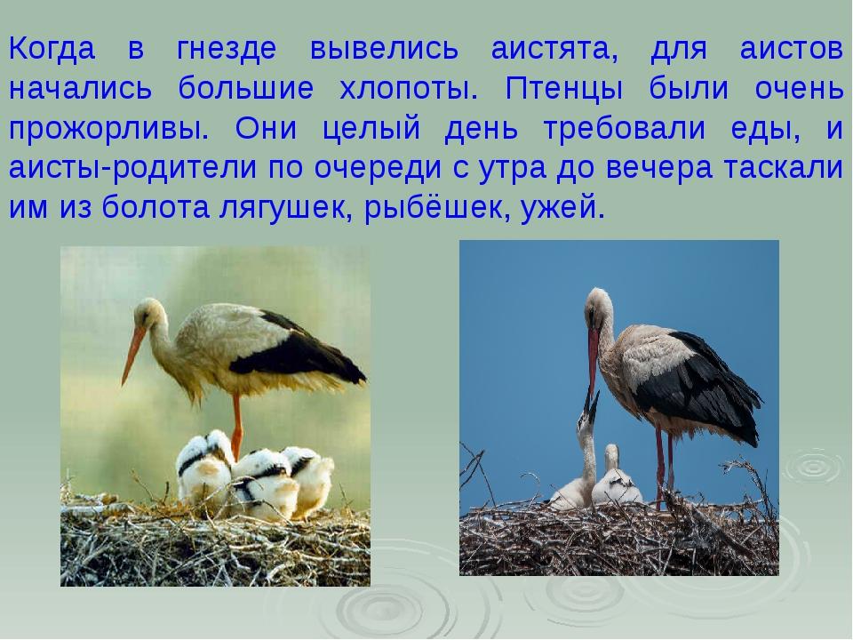 Когда в гнезде вывелись аистята, для аистов начались большие хлопоты. Птенцы...