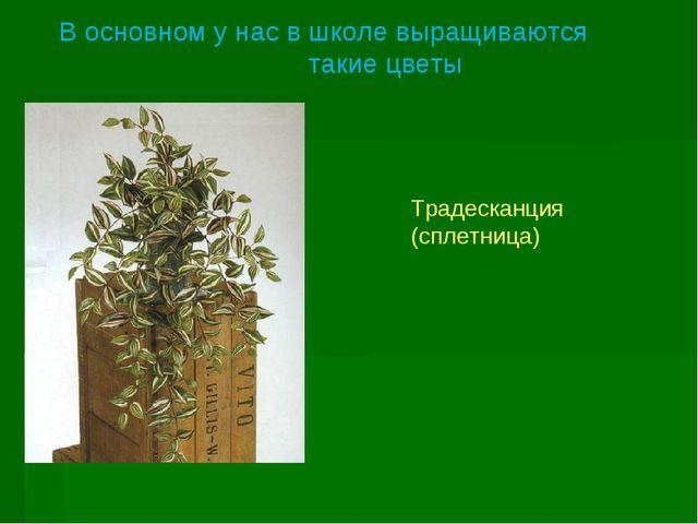 Традесканция (сплетница) В основном у нас в школе выращиваются такие цветы