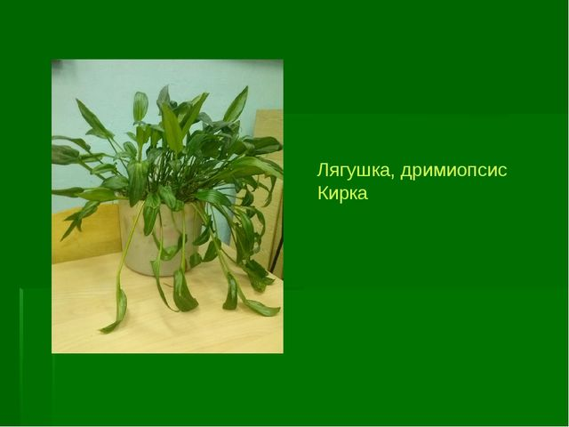 Лягушка, дримиопсис Кирка