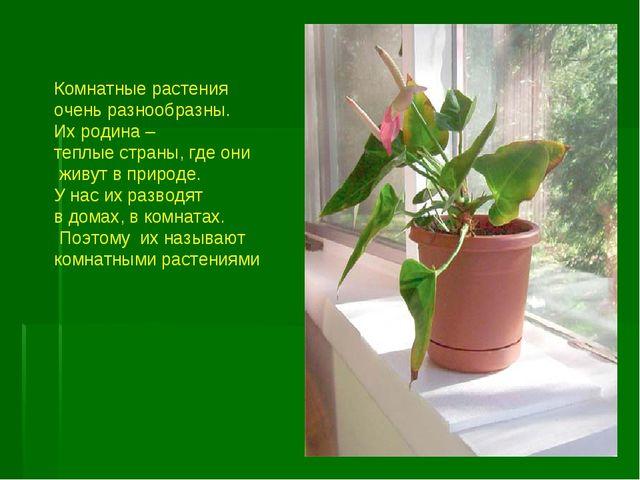 Комнатные растения очень разнообразны. Их родина – теплые страны, где они жив...