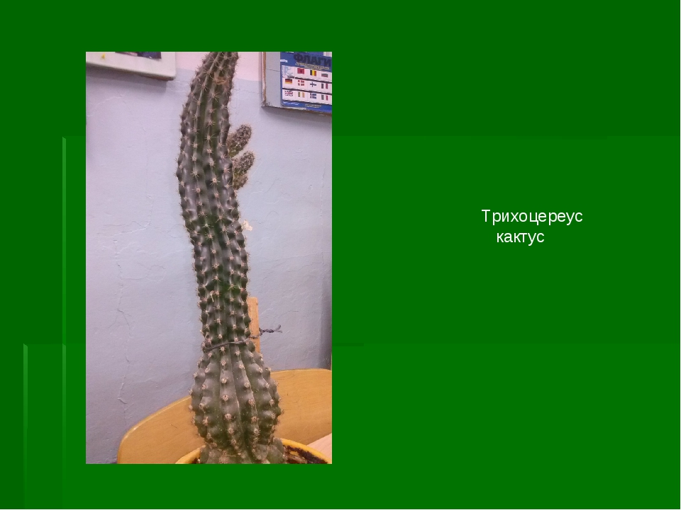 Трихоцереус кактус