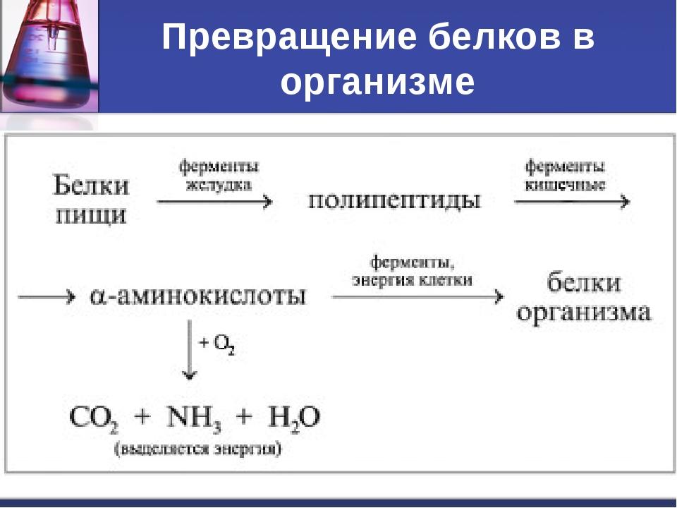 Превращение белков в организме