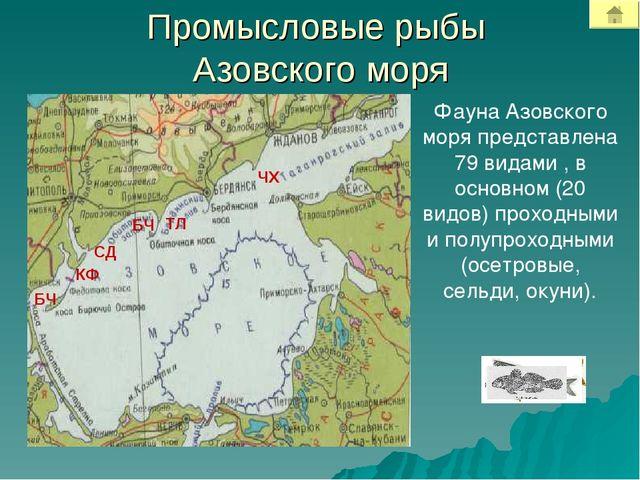 Промысловые рыбы Азовского моря Фауна Азовского моря представлена 79 видами ,...