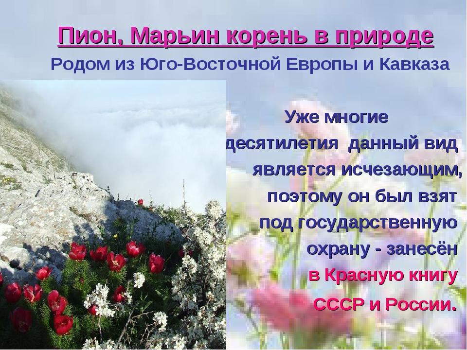 Пион, Марьин корень в природе Родом из Юго-Восточной Европы и Кавказа Уже мно...