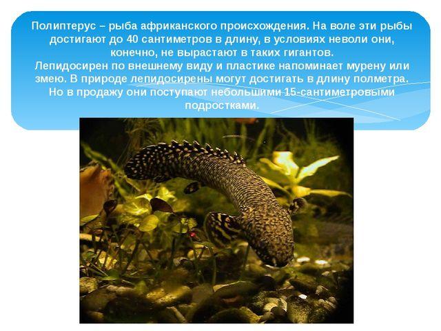 Полиптерус – рыба африканского происхождения. На воле эти рыбы достигают до...