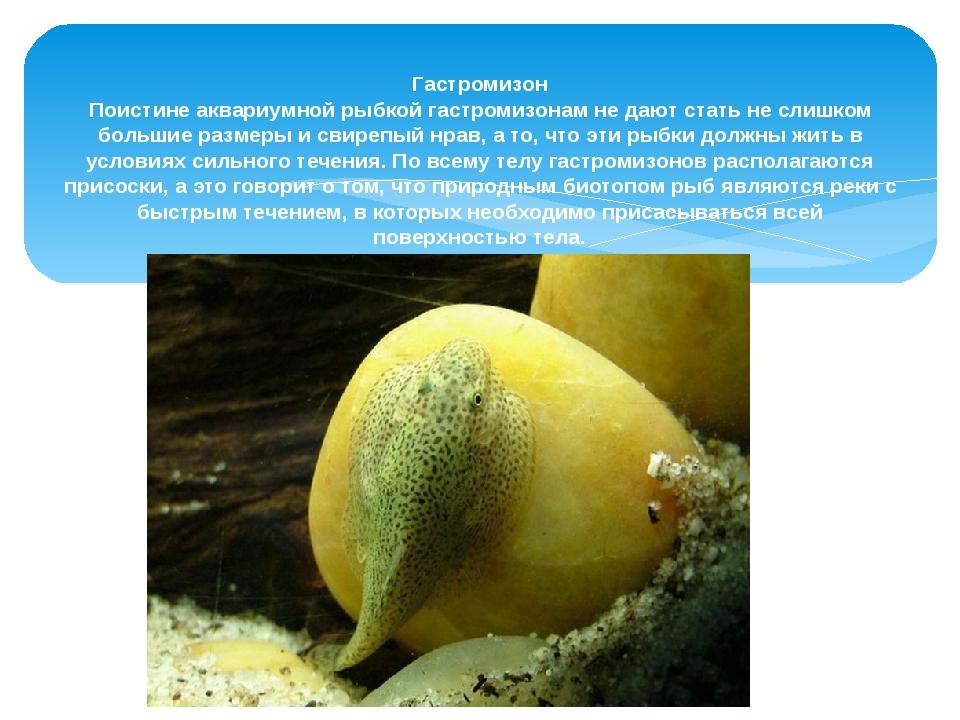 Гастромизон Поистине аквариумной рыбкой гастромизонам не дают стать не слишк...