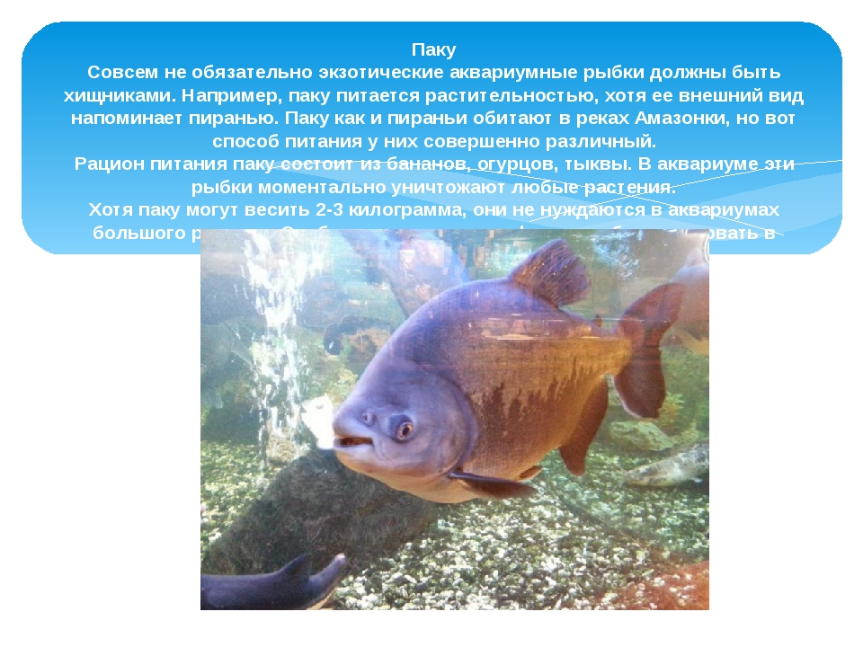Паку Совсем не обязательно экзотические аквариумные рыбки должны быть хищник...