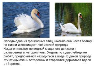 Лебедь одна из грациозных птиц, именно она несет осанку по жизни и восхищает