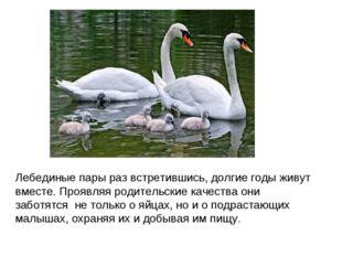 Лебединые пары раз встретившись, долгие годы живут вместе. Проявляя родительс