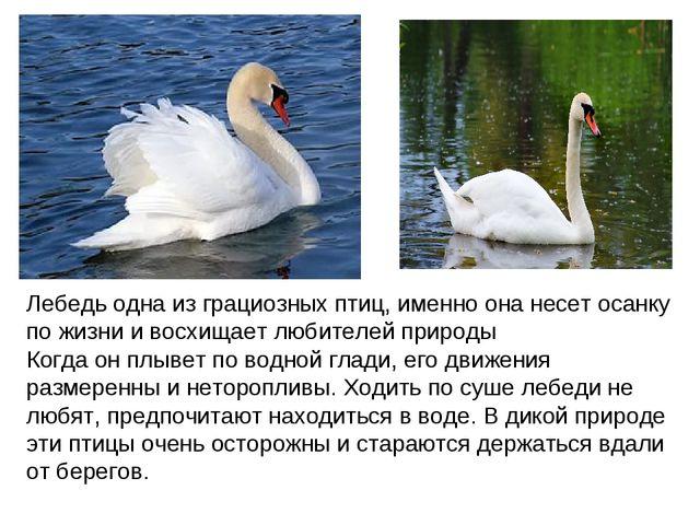 Лебедь одна из грациозных птиц, именно она несет осанку по жизни и восхищает...