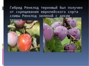Гибрид Ренклод терновый был получен от скрещивания европейского сорта сливы Р