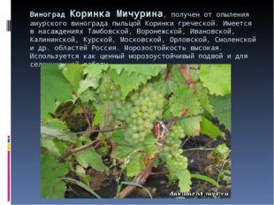 Виноград Коринка Мичурина, получен от опыления амурского винограда пыльцой Ко
