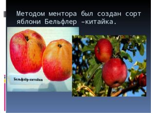 Методом ментора был создан сорт яблони Бельфлер –китайка.