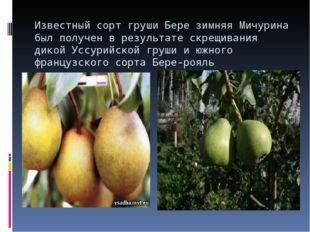 Известный сорт груши Бере зимняя Мичурина был получен в результате скрещивани