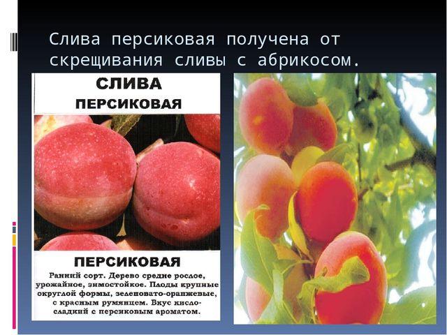 Слива персиковая получена от скрещивания сливы с абрикосом.