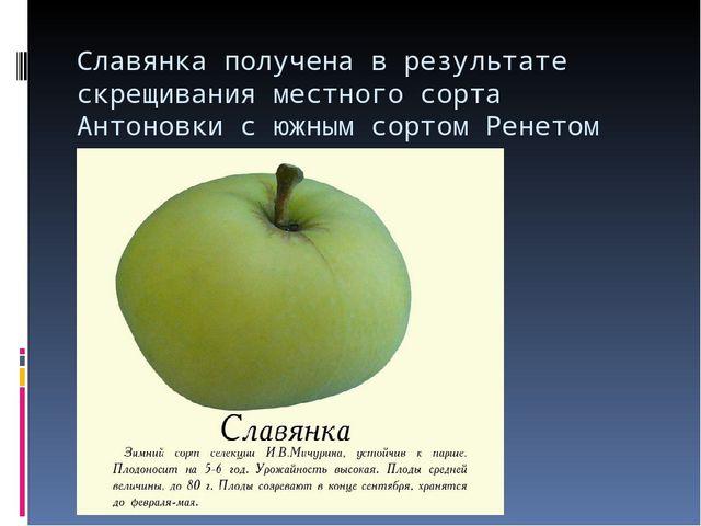 Славянка получена в результате скрещивания местного сорта Антоновки с южным с...