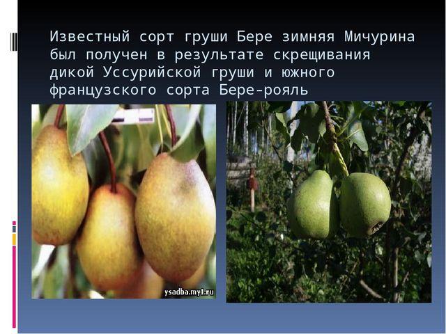 Известный сорт груши Бере зимняя Мичурина был получен в результате скрещивани...