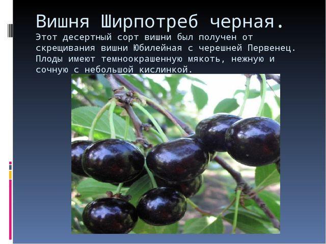 Вишня Ширпотреб черная. Этот десертный сорт вишни был получен от скрещивания...