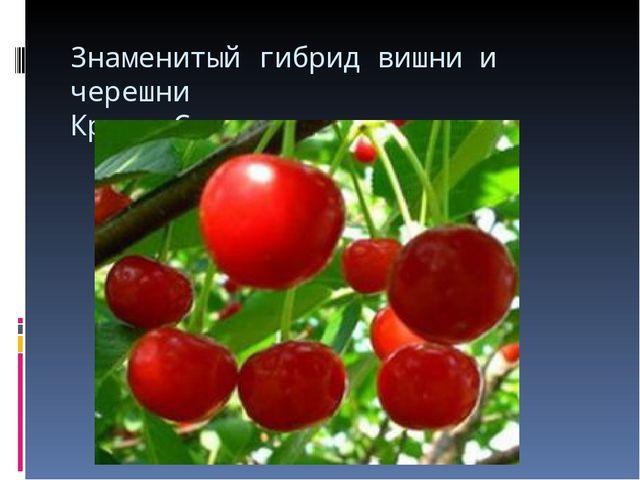 Знаменитый гибрид вишни и черешни Краса Севера.
