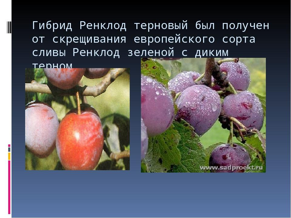 Гибрид Ренклод терновый был получен от скрещивания европейского сорта сливы Р...