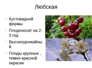 Любская Кустовидной формы Плодоносит на 2-3 год Высокоурожайный Плоды крупные