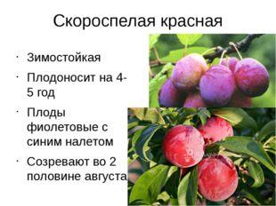 Скороспелая красная Зимостойкая Плодоносит на 4-5 год Плоды фиолетовые с сини