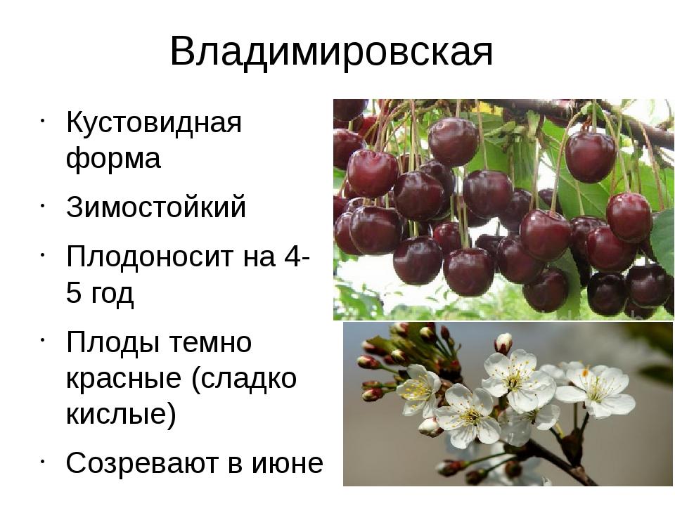 Владимировская Кустовидная форма Зимостойкий Плодоносит на 4-5 год Плоды темн...